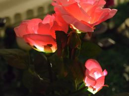 RAYBLOSSOMS SOLAR PINK ROSE.